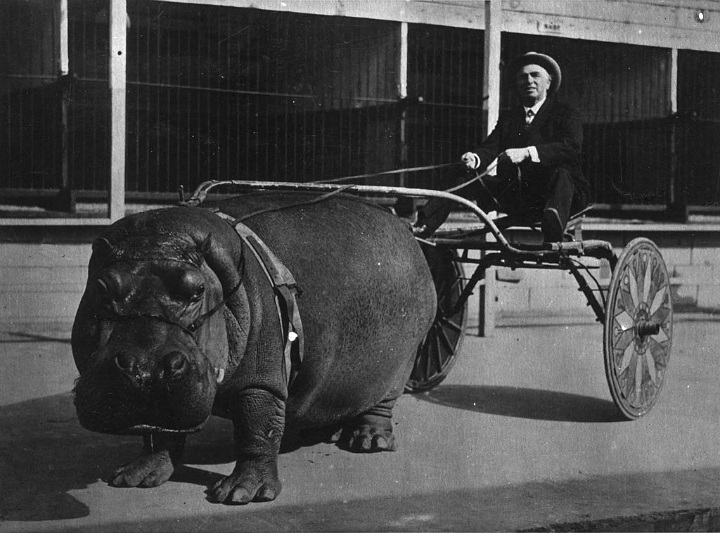 Hippo Carriages