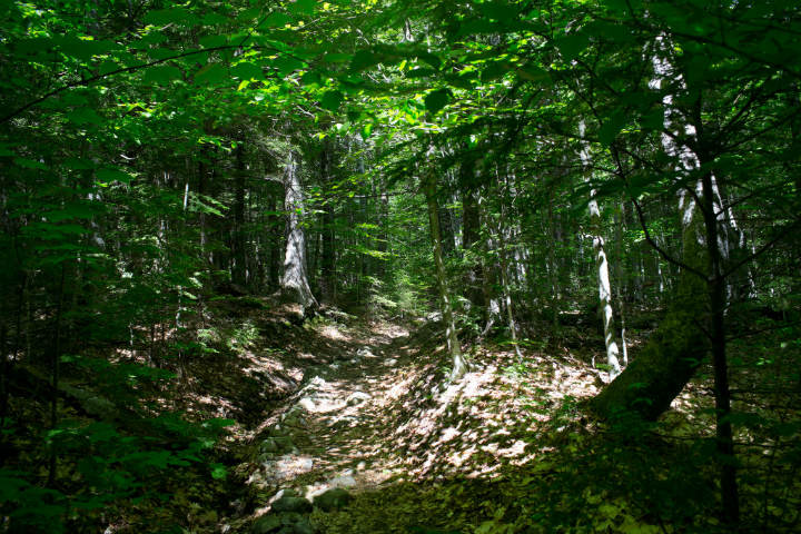 Maine forest trees
