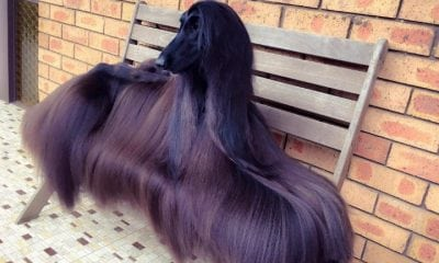 beautiful dog breeds - afghan hound