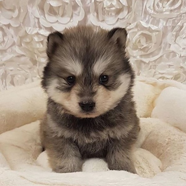 Chusky - Unique Dog Breeds