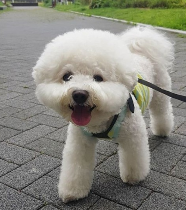 Bichon Frise - Unique Dog Breeds