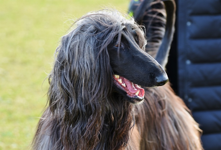 Afghan Hound - Unique Dog Breeds