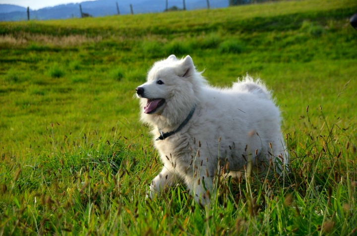 Samoyed - Unique Dog Breeds
