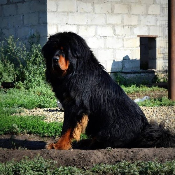 Tibetan Mastiff - Unique Dog Breeds