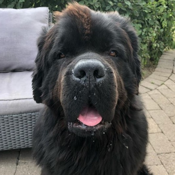 Newfoundland - Unique Dog Breeds