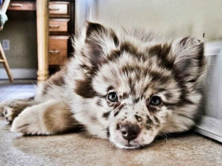 beautiful dog breeds - aussie pom