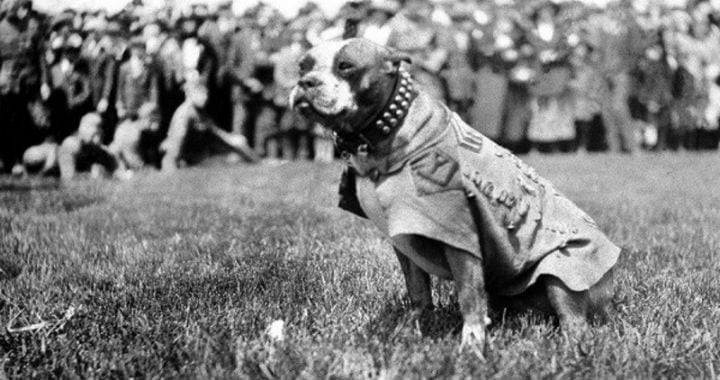 sergeant stubby dog world war i western front france us army hero dog